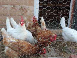 توری مرغی